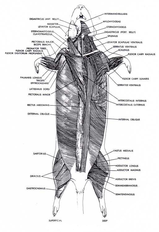 Biology Evolution And Body System The Muscular System